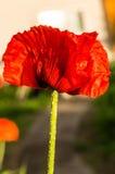 Красный мак Стоковая Фотография RF