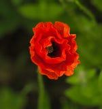 Красный мак Стоковые Фото