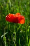 Красный мак Стоковые Изображения RF