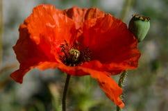 Красный мак - rhoeas мака стоковая фотография