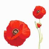 Красный мак (rhoeas мака) Стоковая Фотография