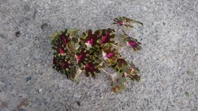 Красный малый coleus Стоковые Фото