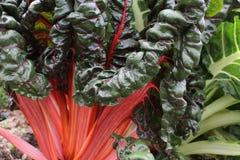 Красный мангольд Стоковое Фото