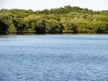 Красный мангль ризофоры деревьев мангровы стоковая фотография
