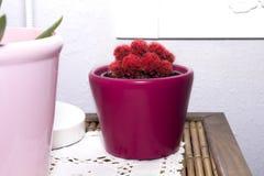 Красный малый кактус Стоковые Изображения RF