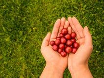Красный Мирабель в 2 руках Стоковая Фотография