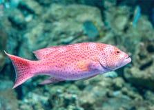 Красный морской окунь Стоковые Изображения RF