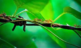 Красный муравей и зеленые สeaves стоковая фотография rf