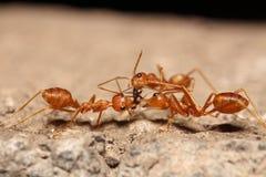 Красный муравей на дереве Стоковые Фото