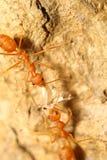 Красный муравей на дереве Стоковая Фотография RF