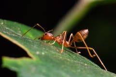 Красный муравей на лист Стоковое Изображение