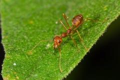 Красный муравей на лист Стоковые Изображения RF