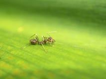 Красный муравей ткача Стоковое фото RF
