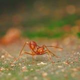Красный муравей Стоковая Фотография