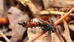 Красный муравей Стоковое Фото