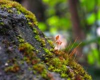 Красный муравей Стоковое фото RF