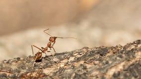 Красный муравей Стоковое Изображение