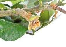 Красный муравей Стоковые Изображения RF