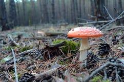 Красный мухомор гриба пластинчатого гриба мухы в лесе осени Стоковое Изображение