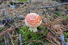 Красный мухомор гриба пластинчатого гриба мухы в лесе осени Стоковое Изображение RF