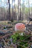 Красный мухомор гриба пластинчатого гриба мухы в лесе осени Стоковая Фотография RF