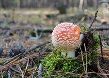 Красный мухомор гриба пластинчатого гриба мухы в лесе осени Стоковые Фотографии RF