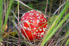 Красный мухомор гриба под моими ногами в сухой траве Стоковое Фото