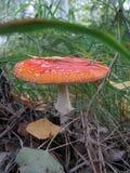 Красный мухомор гриба Стоковая Фотография