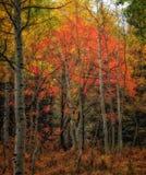 Красный накаляя дуб стоковое изображение