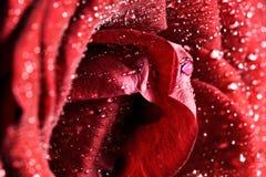 Красный намочите розовый конец-вверх цветка Поздравительная открытка или предпосылка Стоковые Изображения RF