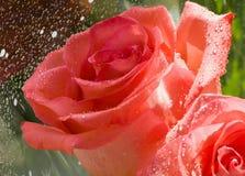 Красный намочите розовый конец-вверх цветка Стоковая Фотография RF