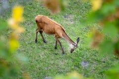 красный олень в зеленом луге стоковое фото rf