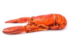 Красный омар на белизне Стоковая Фотография