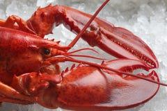 Красный омар Стоковые Фото