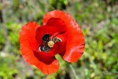 Красный оранжевый зацветая цветок мака Стоковое Изображение RF
