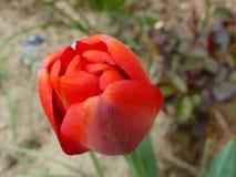 Красный/оранжевый тюльпан Стоковое Фото