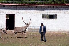 Красный олень и свое tamer Стоковое Изображение RF