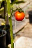 красный одиночный томат Стоковая Фотография RF