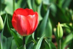 красный одиночный тюльпан Стоковая Фотография
