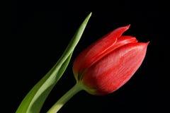 красный одиночный тюльпан Стоковые Фотографии RF