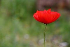 Красный одичалый мак Стоковая Фотография
