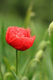Красный одичалый мак Стоковая Фотография RF