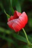 Красный одичалый мак Стоковое Изображение RF