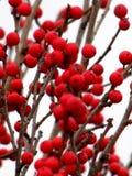 Красный падуб Winterberry стоковые фото