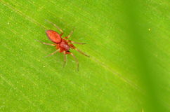 Красный паук Clubiona Стоковая Фотография RF