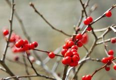 Красный падуб ягод на ветвях Стоковые Фото