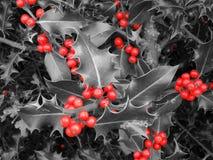 Красный падуб ягоды Стоковые Изображения