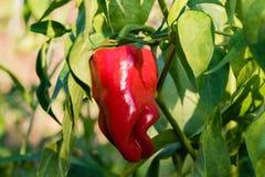 Красный пеец растя в саде Стоковые Изображения
