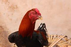 красный петух Стоковое Изображение RF