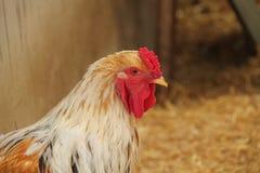 Красный петушок петуха стоковая фотография